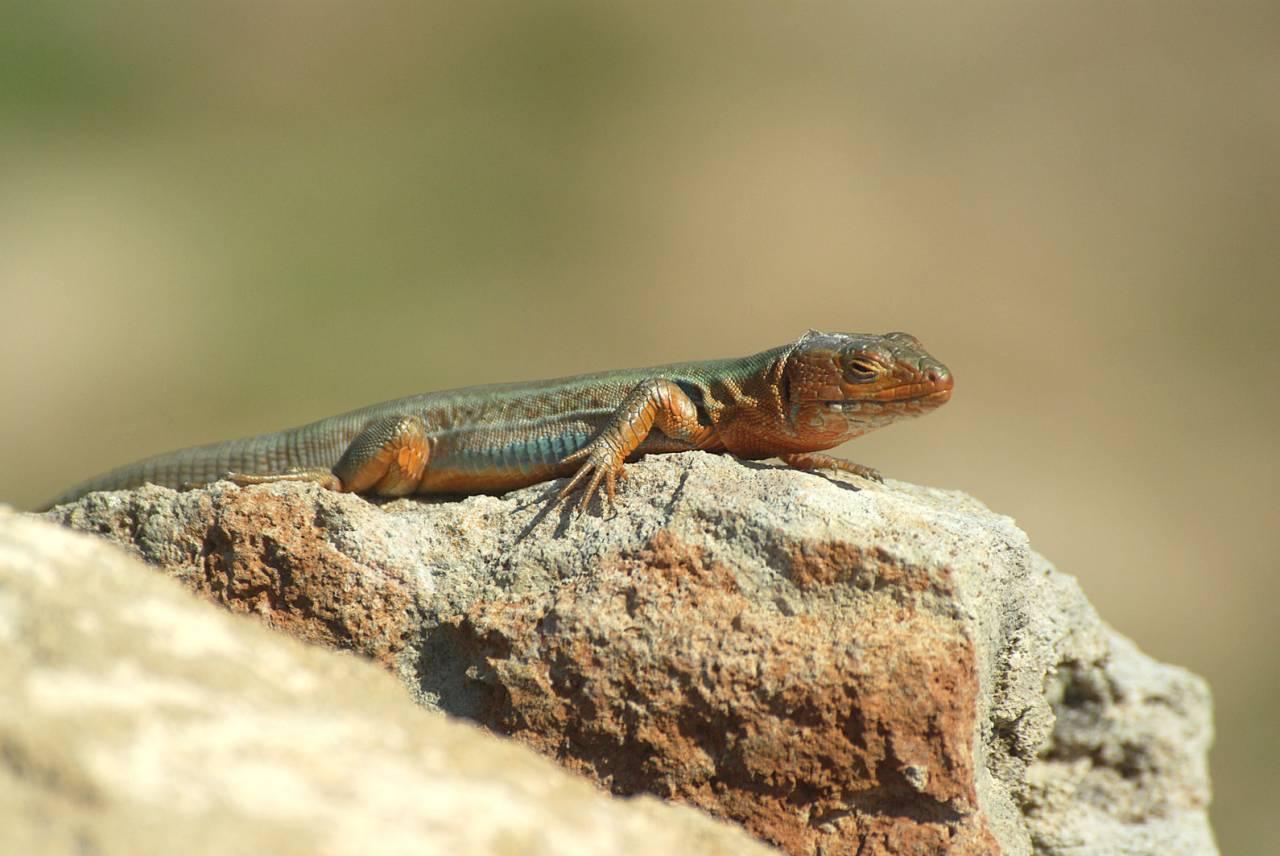 Peloponnese_Wall_Lizard