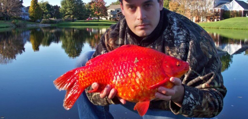 Giant goldfish are real amazing pics for Big gold fish