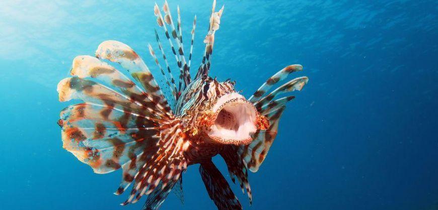 Lionfish invades Greek sea waters again | protothemanews.com