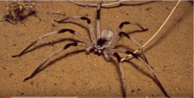 "Real ""giant"" spiders (video) 