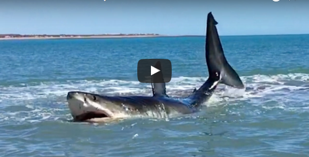 great white shark helicopter with Great White Shark Stuck In Shallow Waters Captured On Video on Man Regrets Jumping Onto Whale Being Eaten By Sharks 2014 11 in addition  likewise Watch besides Largest Great White Shark Attack besides 7 Of The Best Lego City Sets.