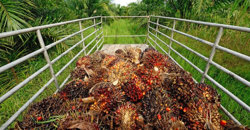 palm_oil_plantaion_CREDITthink4photop_Shutterstock-800x450