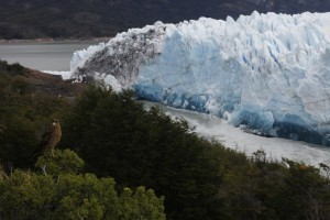 A chimango, a bird of prey, is seen with the Perito Moreno Glacier at the back, at Los Glaciares National Park, near El Calafate in the Argentine province of Santa Cruz, on March 10, 2018. An arch of ice formed at the tip of the Perito Moreno, between the glacier and the shore of Argentino lake, started collapsing into the water on Saturday, a natural display that happens just once every several years. Such arches form roughly every two to four years, when the glacier forms a dam of ice that cuts off the flow of water around it into the lake -- until the water breaks through, opening up a steadily wider tunnel that eventually becomes a narrow arch... and then collapses. / AFP PHOTO / WALTER DIAZ