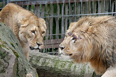lions german zoo1.jpg