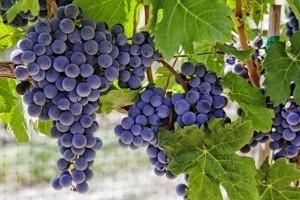 vineyards_grapes_s130572056_560